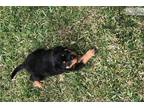 Male AKC German Rottweiler Pup