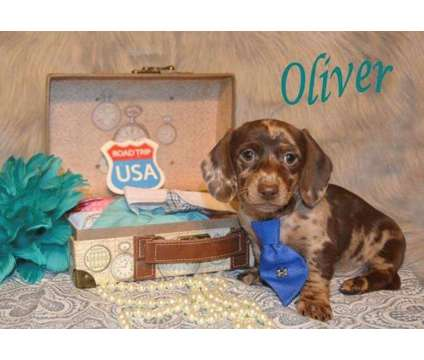 Upcoming Winter/Spring Litter of Dachshund Puppies is a Dachshund Puppy in North Andover MA