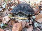 Adopt Crush (Aquatic) a Turtle - Other / Turtle - Other / Mixed reptile