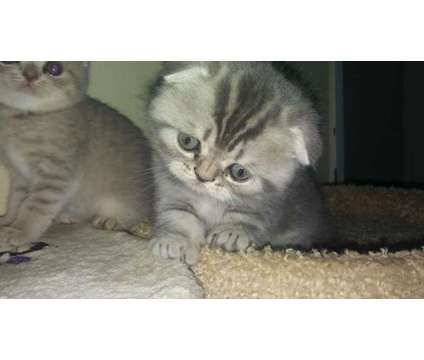 4 scottish fold kittens and 1 scottish straight kitten for sale!!!!!!1 is a Male Scottish Fold Kitten For Sale in Fort Lauderdale FL