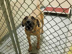 Black Mouth Cur Mix DOG FOR ADOPTION RGADN-1102650 - MAYA - Black Mouth Cur /
