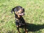 Adopt ORION a Black - with Tan, Yellow or Fawn Rottweiler / Mixed dog in
