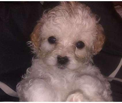 Shipoo puppies is a Female Puppy in Marana AZ