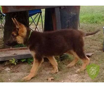 German Shepherd Puppies AKC is a Female German Shepherd Puppy For Sale in Hico TX