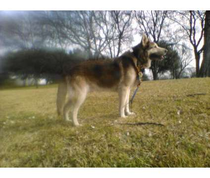 Gorgeous Shepherd (Two Puppies for Sale) is a Puppy For Sale in Richardson TX