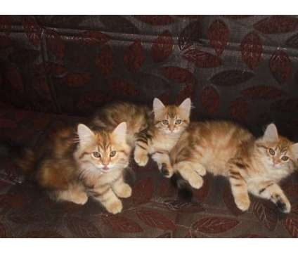 Siberian Kitten's is a Female Siberian Kitten For Sale in Bronx NY