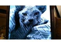 Sphynx Kitten rare BLUE Gray Color