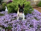 Akita Puppy for sale in Lakeville, MN, USA