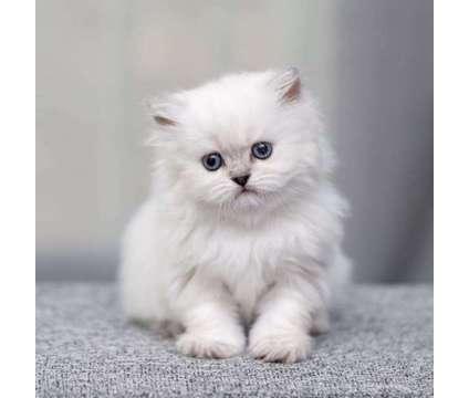 British chinchilla boy reservation is a Male British Shorthair Kitten For Sale in Miami FL