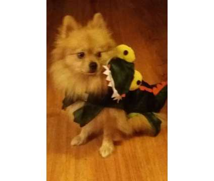 Dog is a Male Pomeranian For Sale in Richmond VA