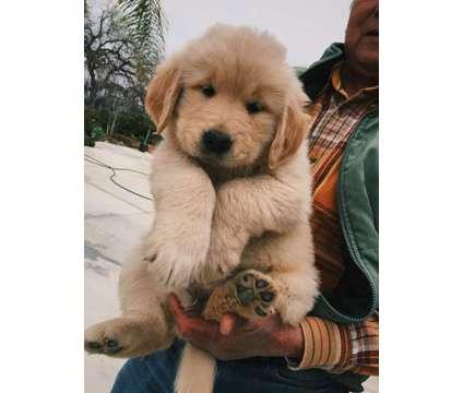 2 MALES LEFT - Golden Retriever Puppies for Sale is a Male Golden Retriever Puppy For Sale in Pleasanton CA
