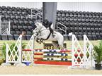 Dutch Warmblood sired by Famous Grand Prix Jumper Dressage Prospect