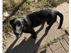 Basset Hound-Labrador Retriever Mix DOG FOR ADOPTION RGADN-10053 - D56