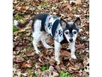 Adopt Peper (VA) a White - with Black Rat Terrier / Mixed dog in Richmond