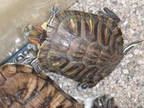 Adopt SEVAS a Turtle - Other / Mixed reptile, amphibian, and/or fish in Los