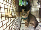Adopt YOUNG a Brown Tabby Domestic Shorthair / Mixed (short coat) cat in Doral