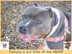 Adopt *DWAYNE a Gray/Silver/Salt & Pepper - with White American Pit Bull Terrier