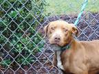 Adopt CHANCE a Brown/Chocolate American Pit Bull Terrier / Mixed dog in