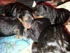 Airedale Terrier Puppy for sale in Red Level, AL, USA