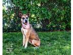 Adopt MATILDA a German Shepherd Dog, Boxer