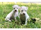 American Staffordshire Terrier Puppy for sale in Lilburn, GA, USA