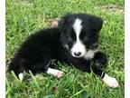 Border Collie Puppy for sale in Blanket, TX, USA
