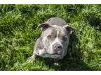 Adopt Anna a American Staffordshire Terrier / Mixed dog in Napa, CA (25072834)