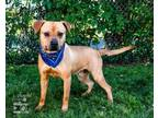 Adopt LEONARD a Pit Bull Terrier, Mixed Breed