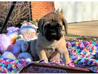Mastiff Puppy for sale in Sugarcreek, OH, USA