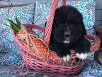 Newfoundland Puppy for sale in Abrams, WI, USA