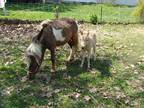Amha Amhr reg mare with stud foal at side