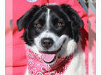 Border Collie-Great Pyrenees Mix DOG FOR ADOPTION RGADN-108472 - Sammie - Border