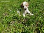 Beagle Puppy for sale in Seymour, MO, USA