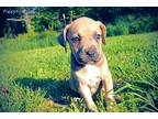 American Bandogge Puppy for sale in Licking, MO, USA