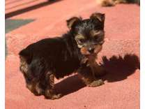 AKC Female Yorkie Puppy for sale