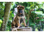 German Shepherd Dog Puppy for sale in Parkland, FL, USA