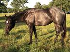 Gorgeous 2 yr old Blue Roan filly with 60 days under saddle Foundation bred