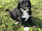 Portuguese Water Dog Puppy for sale in Fort Scott, KS, USA