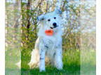 Great Pyrenees Mix DOG FOR ADOPTION RGADN-122487 - Cashmere D4665 - Great