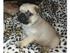 Pug Puppy for sale in Jackson, MS, USA