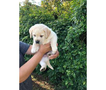 AKC English Labrador Puppies is a Labrador Retriever Puppy For Sale in Riverside CA