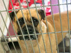 Adopt FREDERICK a Tan/Yellow/Fawn - with Black Boxer / Shar Pei / Mixed dog in