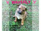 Collie Mix DOG FOR ADOPTION RGADN-124705 - Waverly AA in MS - Collie / Mixed