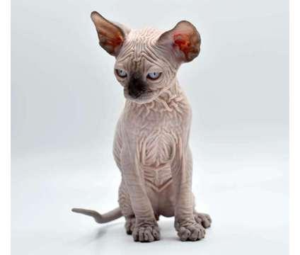 Sphynx kittens is a Male Sphynx Kitten For Sale in Brooklyn NY