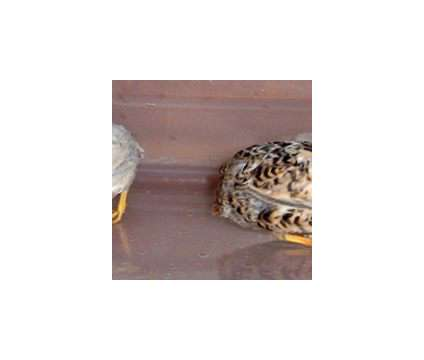 Button quail hatching eggs is a Female Baby in Brooksville FL