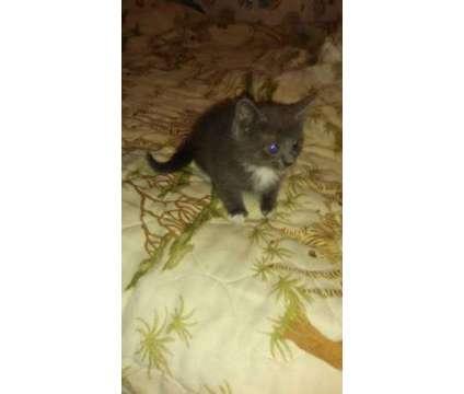 kittens is a Female, Male Kitten For Sale in Sanford NC