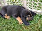 Bloodhound Puppy for sale in Johnson City, TN, USA