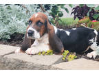 Basset Hound Puppy for sale in Rochester, IN, USA