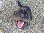 Adopt MAX a Black Jack Russell Terrier / Scottie, Scottish Terrier / Mixed dog