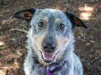 Adopt *ANDY a Merle Australian Cattle Dog / Mixed dog in Santa Rosa